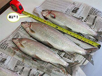 0604-whitefish-013