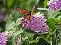Monarch-lilacs-011