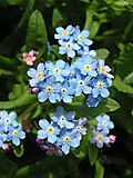 450px-Forget-me-not_close_600