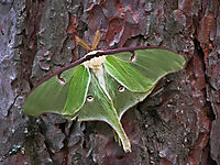 Luna_moth-009
