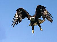 Eagle_usfws