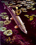 Northern_pike
