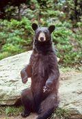 Blackbearonrock