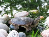 Turtle_0288