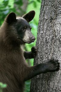 Blackbeartree