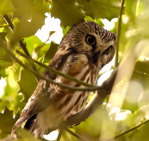 Northern_saw-whet_owl