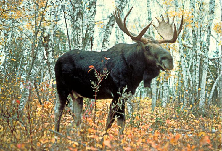 Moose-uspa