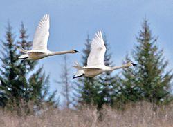 Swans_publicdomain