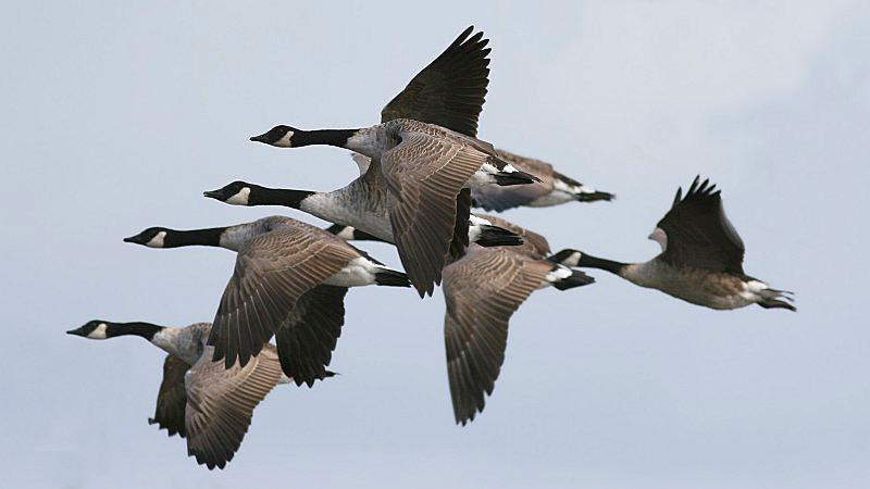 Canada_Goose_(Branta_canadensis)_(5)