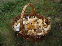 800px-Edible_fungi_in_basket_2009_G1