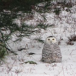Owl_0911
