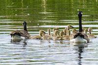 Canada-goose-436095_640
