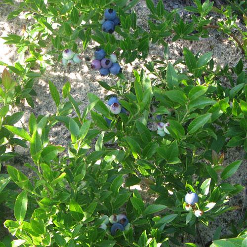 Blueberries_1054