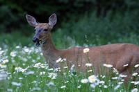 Deer_munching_small