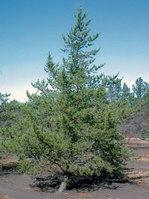 Jack_pine_tree